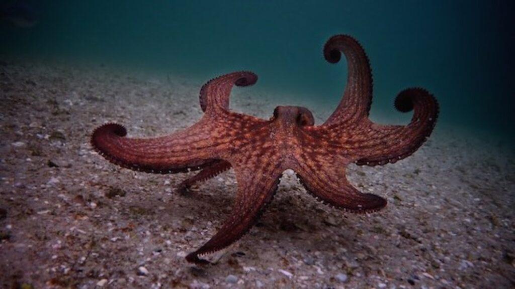 my octopuss teacher